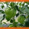 Овощной физалис маринованный